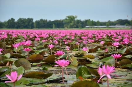 24723035-flores-de-lotus-no-pantano